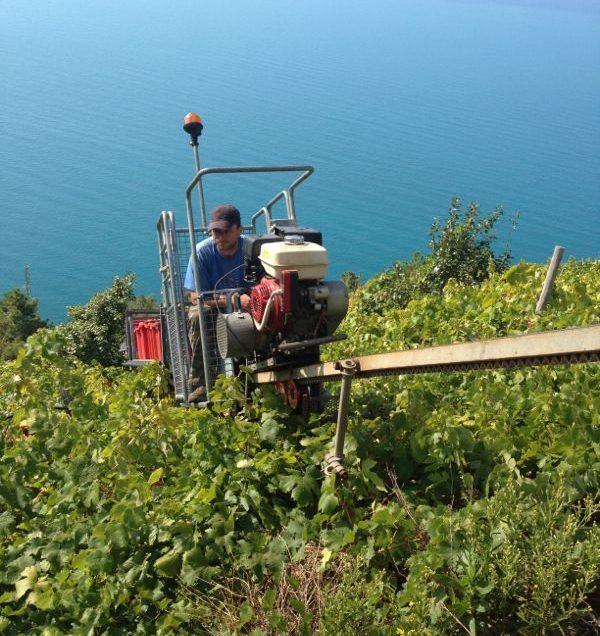 CInque Terre harvesting grapes