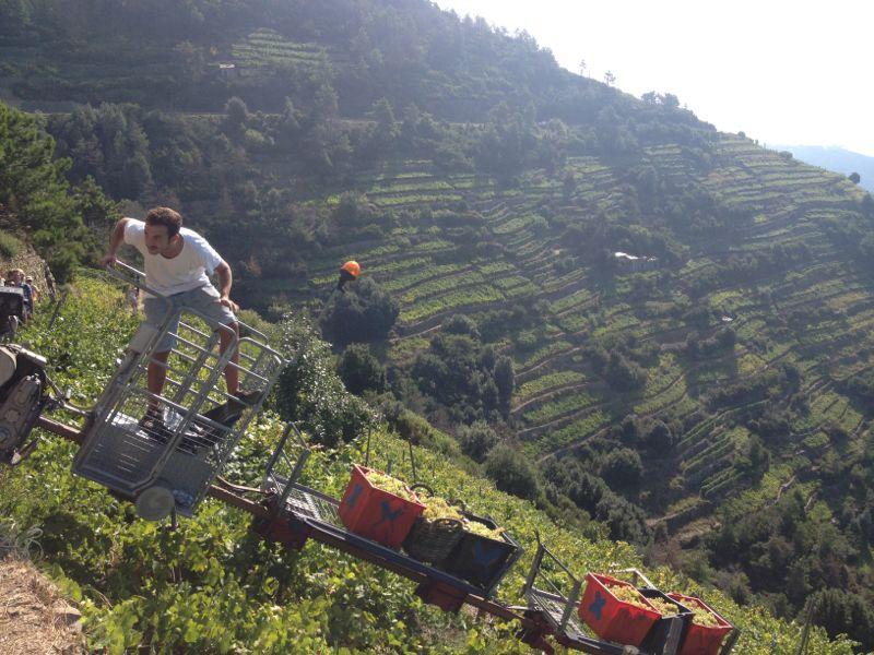 Harvesting in CInque Terre