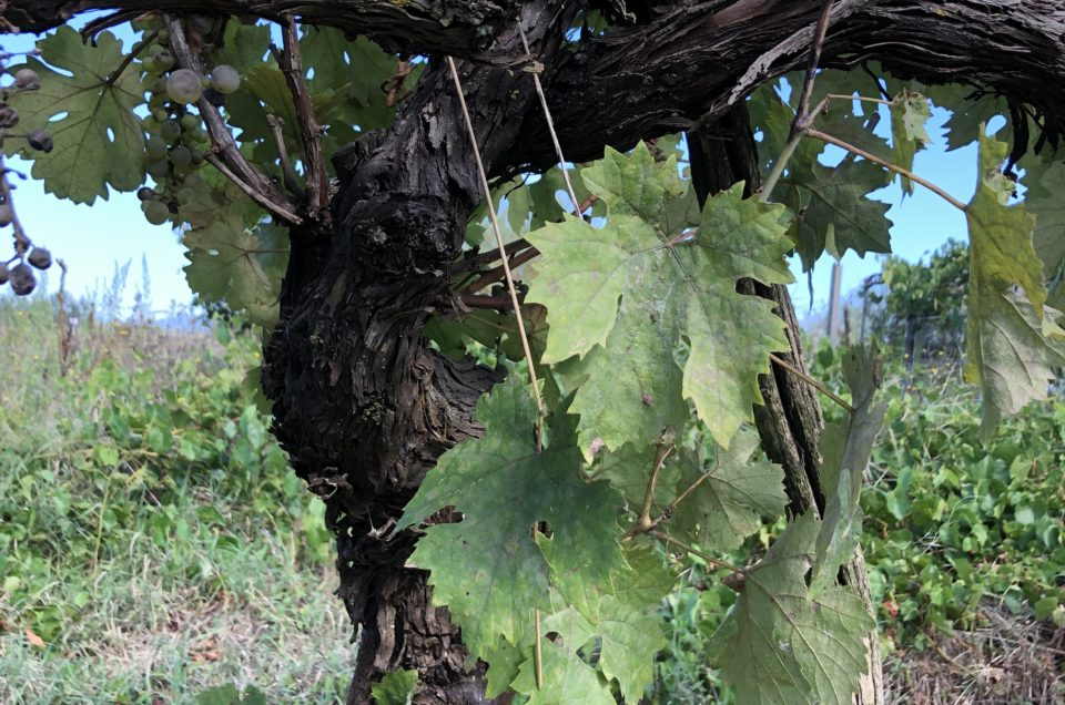 Tuscan old wine grapes plant