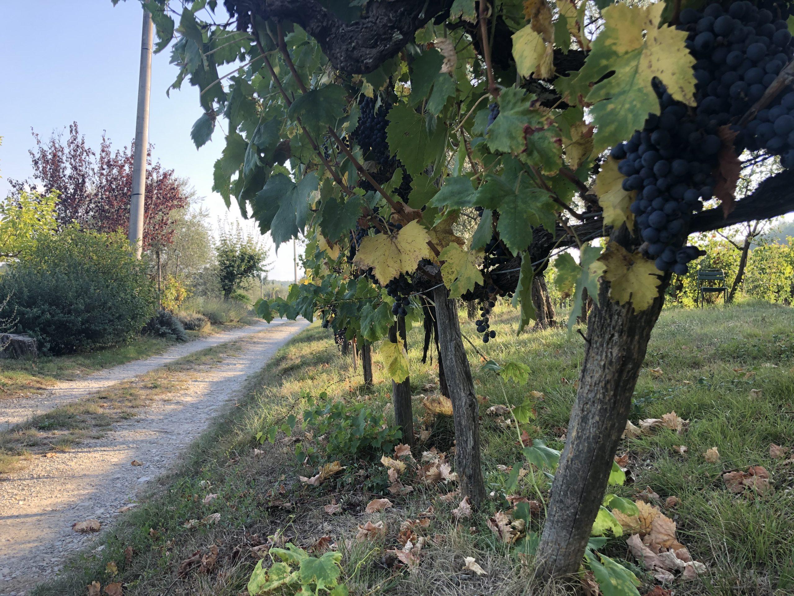 Sangiovese hike Chianti Classico