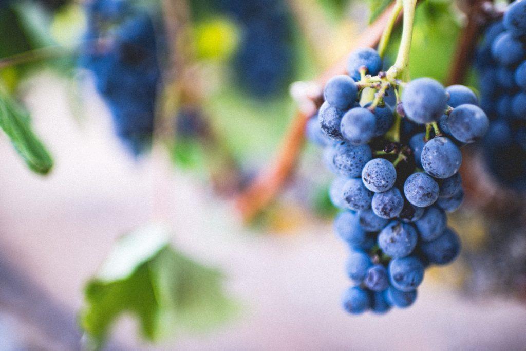 Sangiovese red grape