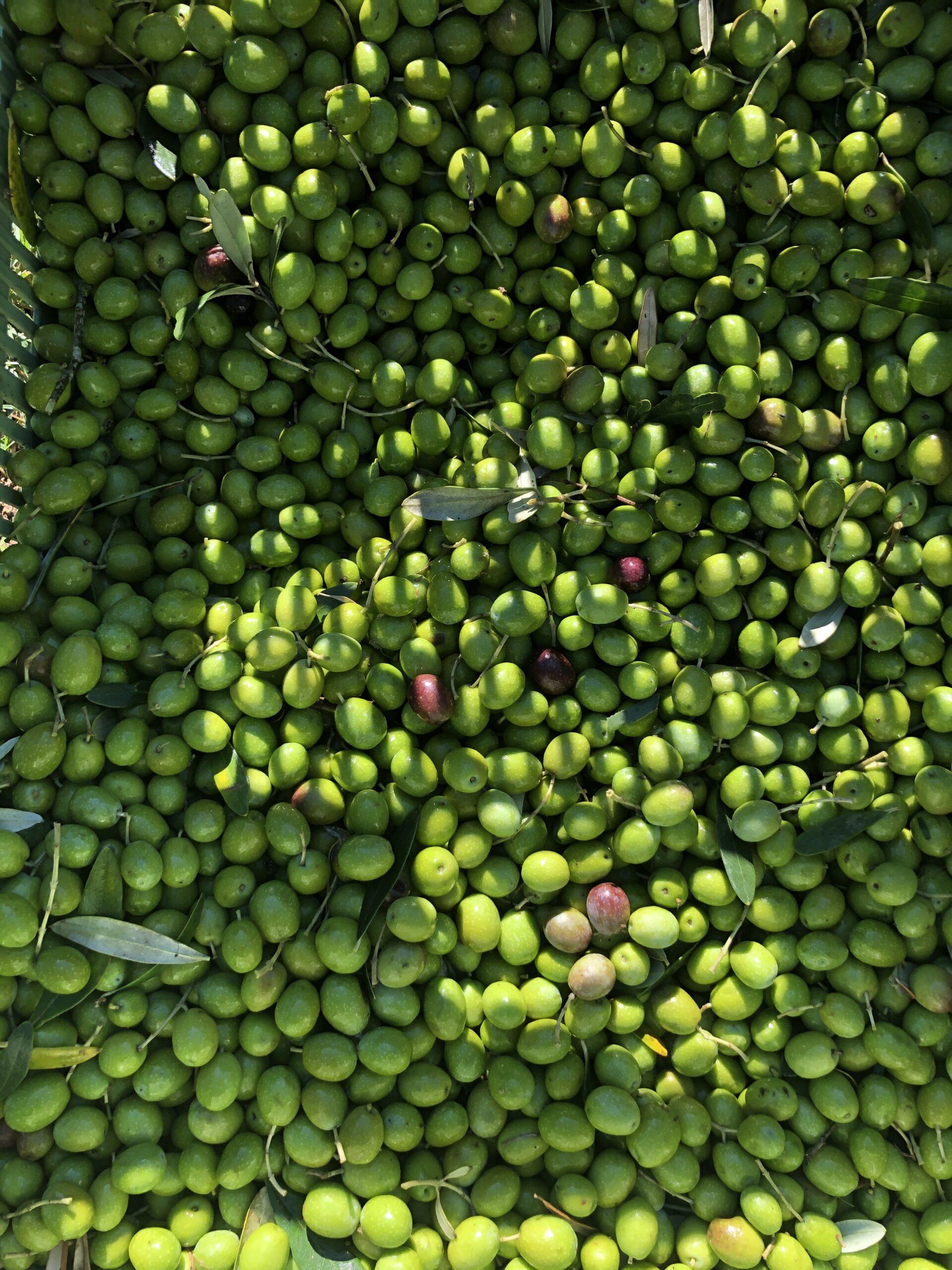 Olive freshly picked